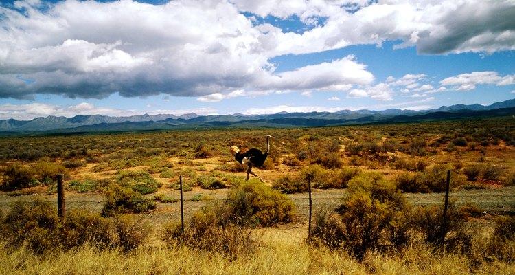 Na imagem, um avestruz, parente africano da ema