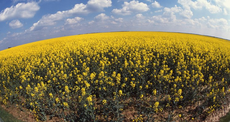 Field of rapeseed crop