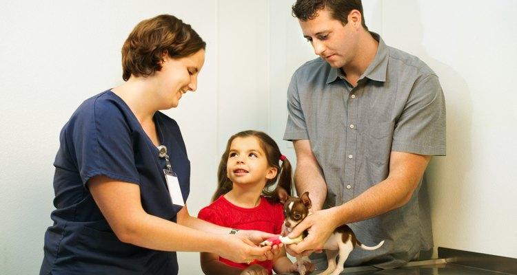 Sua chihuahua deve visitar o veterinário pelo menos uma vez durante a gestação.