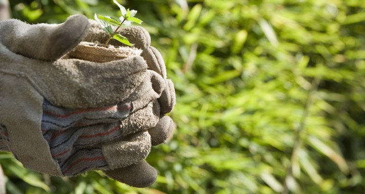Fusarium oxysporum es una enfermedad devastadora transmitida por el suelo que puede acabar fácilmente con tu cosecha de albahaca.