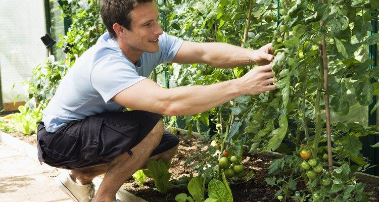 Previna a disseminação da ferrugem só trabalhando em sua horta quando as plantas estiverem secas