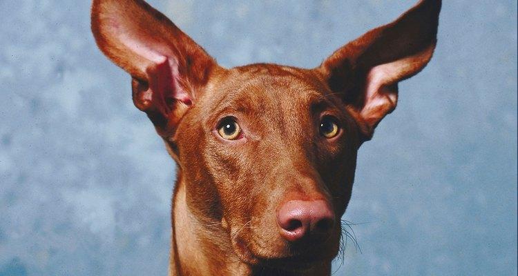 Los productos de limpieza para los oídos de los perros funcionan contra las infecciones.