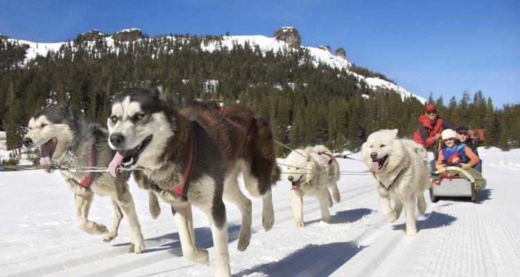 A diferencia del pastor alemán, el husky siberiano es criado para soportar temperaturas muy bajas.