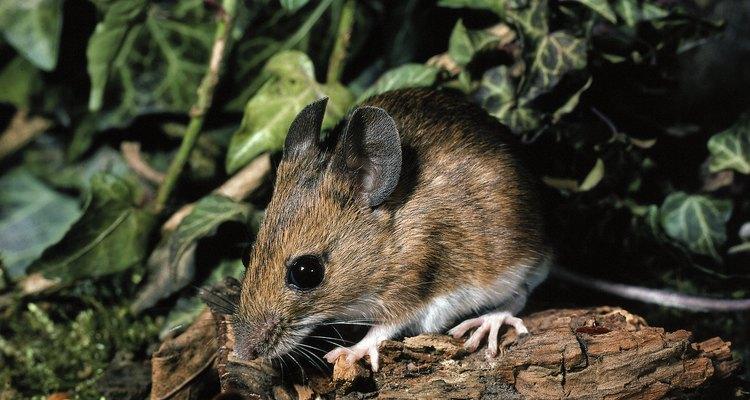 Mantén a los roedores lejos de tu casa con repelentes caseros en aerosol.
