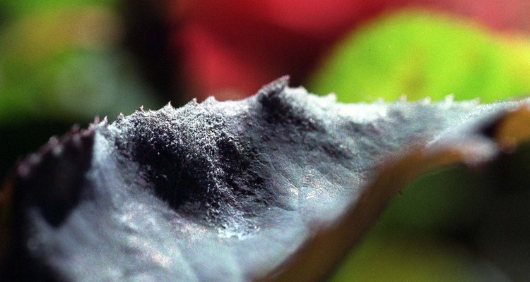 Powdery mildew is one of the most common plant diseases.