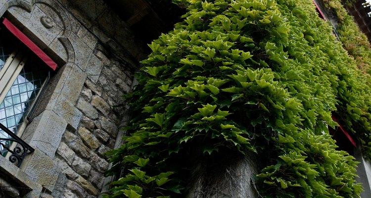 Usada para efectos ornamentales, la hiedra inglesa requiere de constante mantenimiento para evitar problemas.
