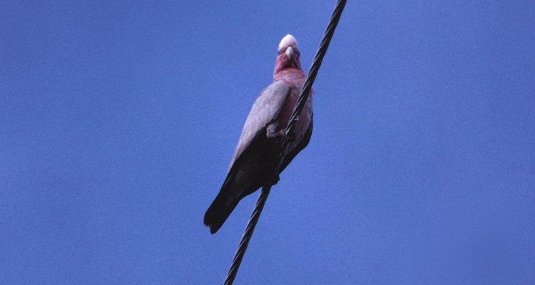 O acasalmento dos pombos ocorre de forma muito rápida