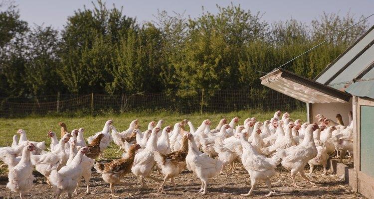 Proteja o telhado do seu galinheiro