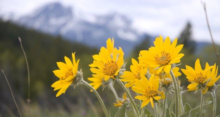 Arnica Wild flower