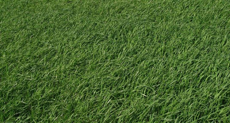 El cuidado adecuado de césped recién plantado te proporcionará un césped verde y frondoso.
