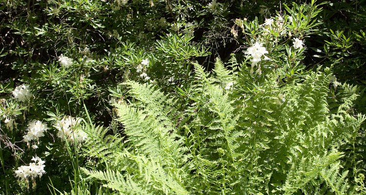 Fern leaves that turn black are suffering from a disease.