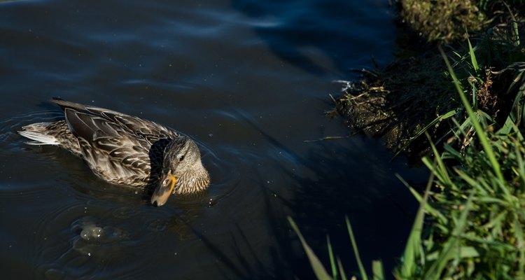 Os patos tem uma relação neutra com outras aves que partilham do mesmo ambiente em que vivem
