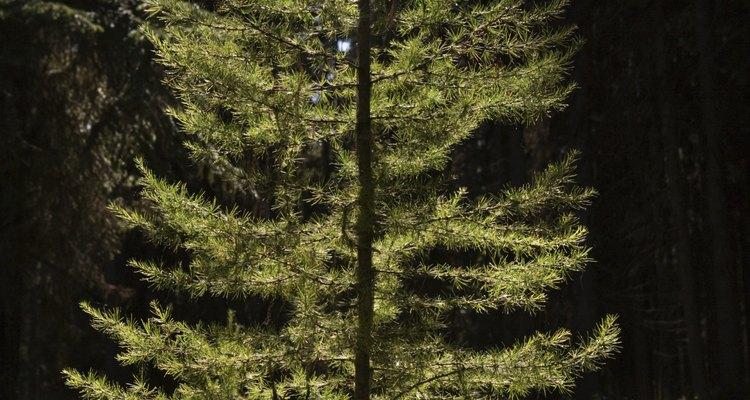 El diámetro de un pino da una estimación de la edad del árbol.