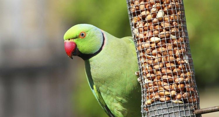 Una cotorra de Kramer hembra verde que come en su comedero.