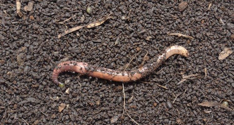 La lombriz de tierra tiene una estructura corporal simple.