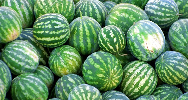 As melancias crescem facilmente em uma plantação hidropônica