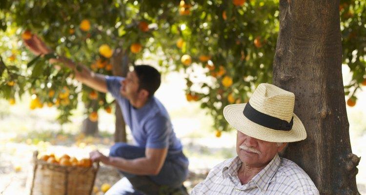 Folhas amarelas em laranjeiras podem indicar doenças ou falta de nutrientes