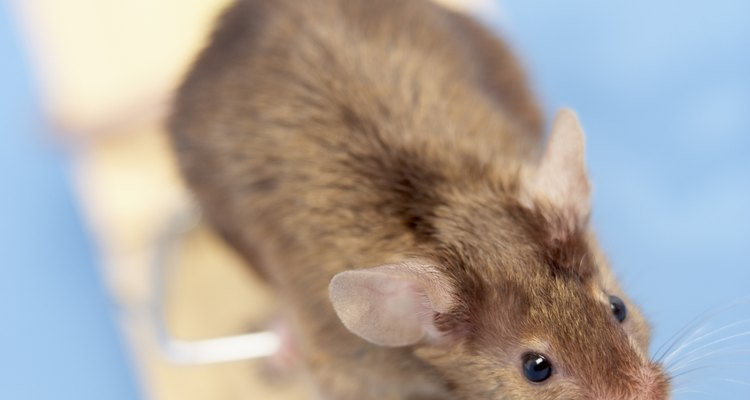 Mice look innocent, but their droppings can be deadly.