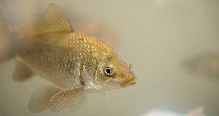 A água deve ser testada para verificar se ela não contém substâncias que sejam tóxicas para os peixes