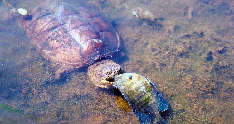 Tartaruga mordedora comendo um peixe-lua