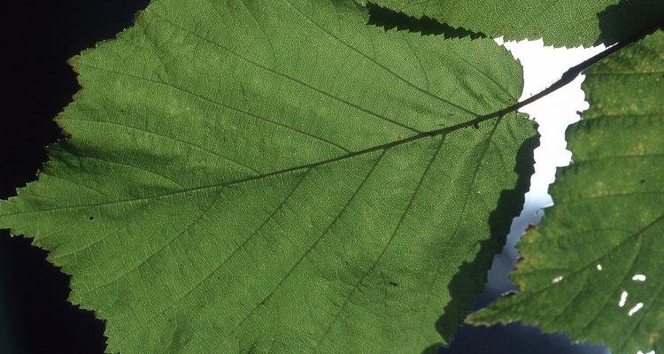 El avellano común es un arbusto de hoja caduca.