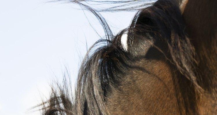 A crina de uma cavalo de competição deve descansar de maneira impecável e uniforme na lateral direita do seu pescoço