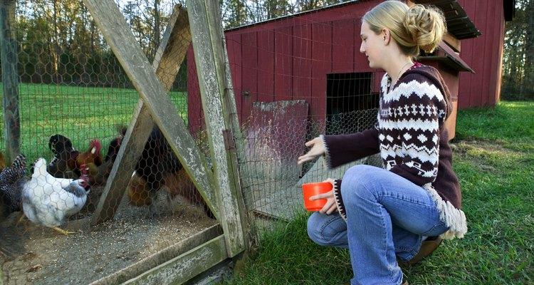Mantenha suas galinhas a salvo de predadores com um galinheiro bem protegido