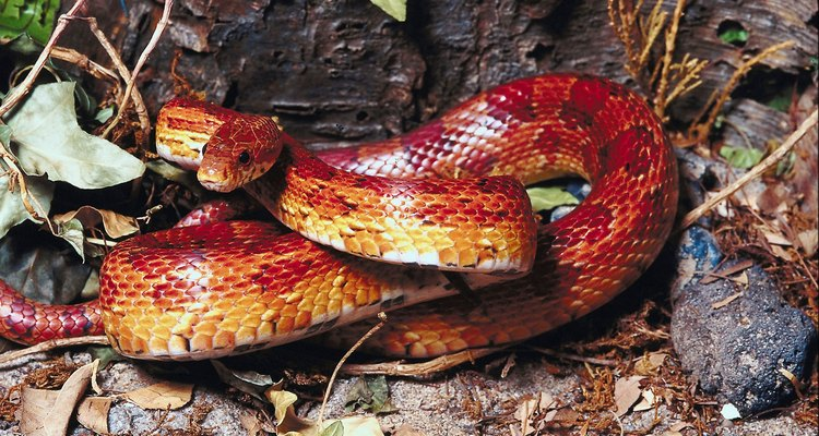 Corn snakes are relatively easy to care for and make great pets.