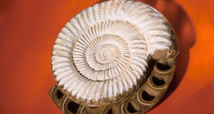Fósseis Helix são formados por uma concha espiralada de Omanyte.