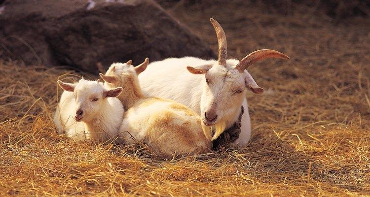 Las cabras pueden desarrollar ubres duras en la estación seca o después de dar a luz.