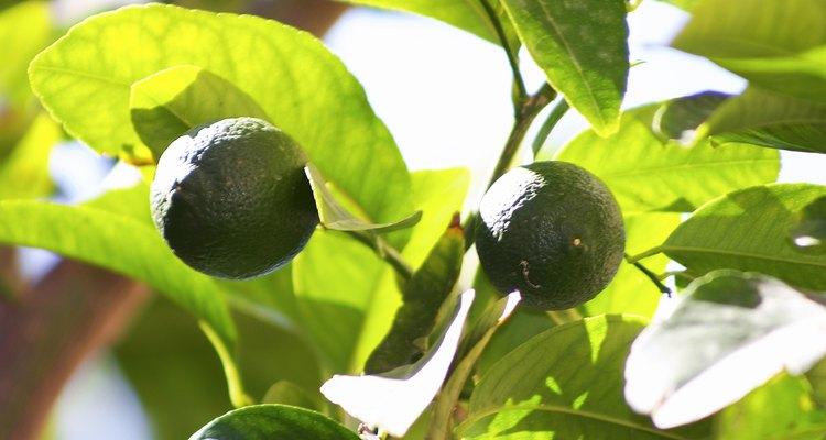Recuperar uma árvore de citrus tem suas vantagens, entre elas, frutas frescas