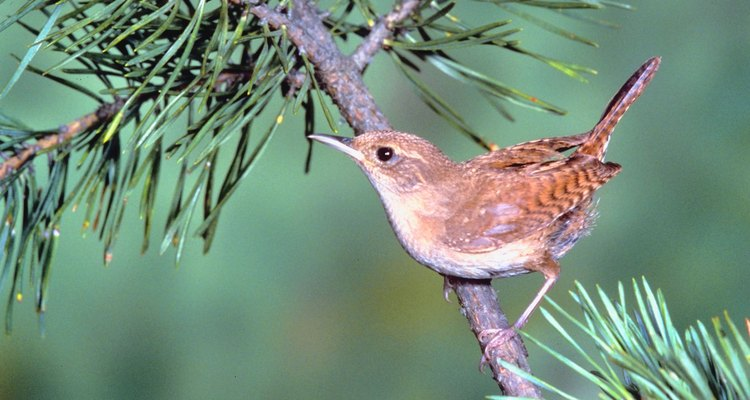 A tiny wren, with pointed beak and upright tail