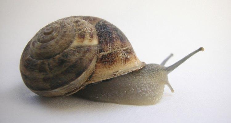 Bring a common garden snail into the classroom.