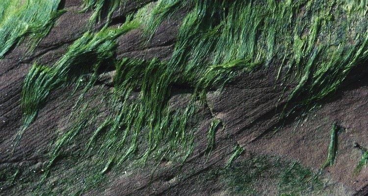 Algas com morfologia filamentar parecem fibrosas