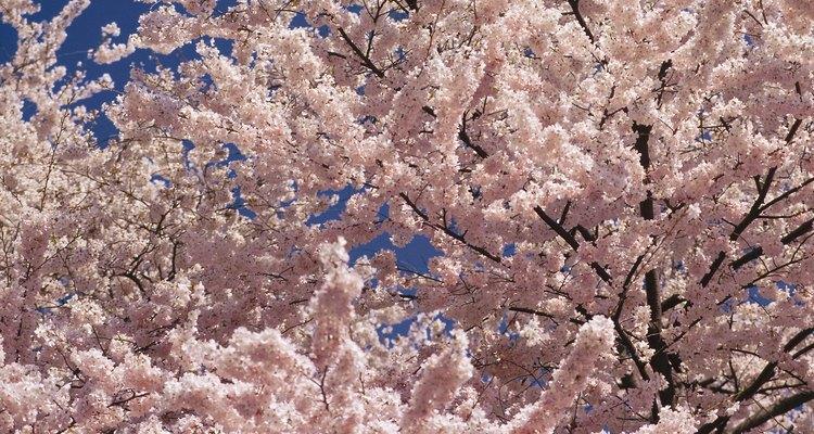 Sakura se refiere al marco temporal en el que las flores del cerezo son visibles durante el año.