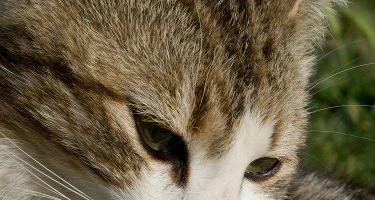 Los gatos son excelentes compañeros, pero obtener uno requiere un poco de pensamiento.