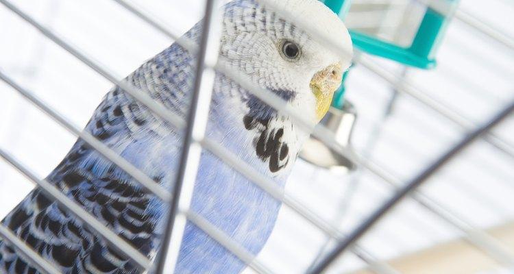 Os periquitos são pássaros fáceis de procriar