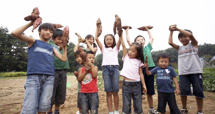 A batata-doce desenvolve-se melhor em climas tropicais e subtropicais