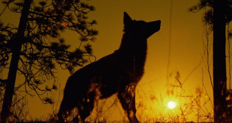 Los lobos son vistos como cazadores, espíritus y ancestros de los hombres.