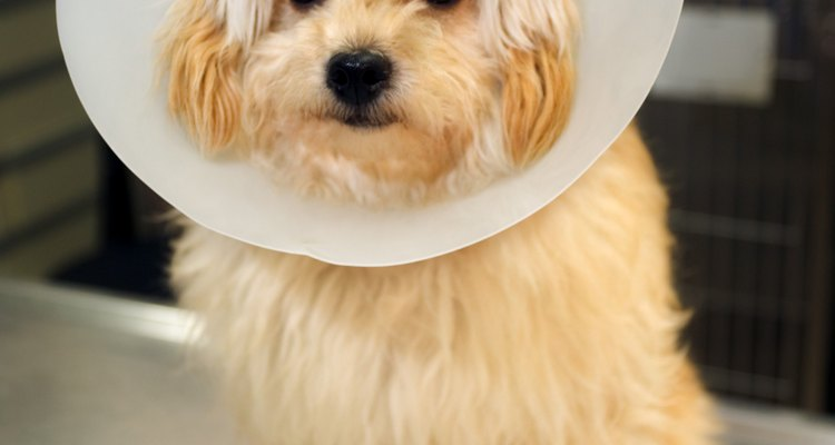 O cone, visto aqui em um cachorro, também é usado em gatos