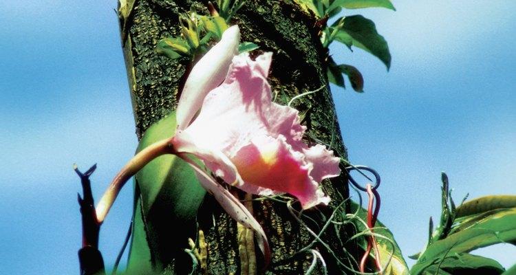 Cómo injertar orquídeas en un árbol.