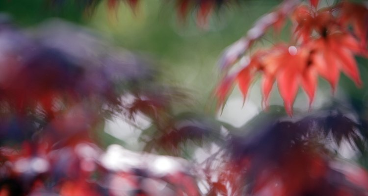 Blurred image of Japanese maple leaves.
