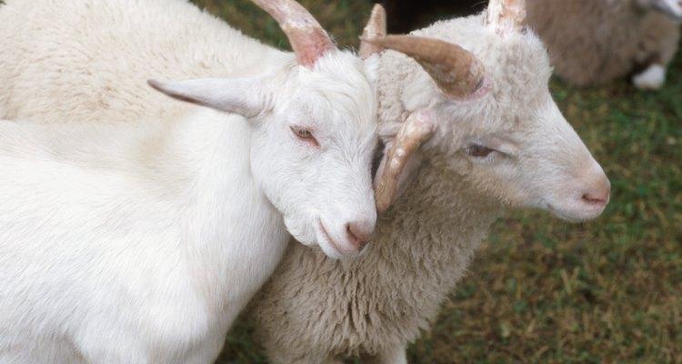 O copo de chifre é feito a partir do chifre de um bovídeo, como uma ovelha, cabra ou boi