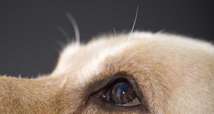 Los ojos de los perros son sensibles a varios tipos de enfermedades y lesiones.