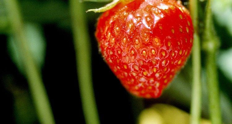 Podar las guías detendrá a las plantas de fresa de propagarse.