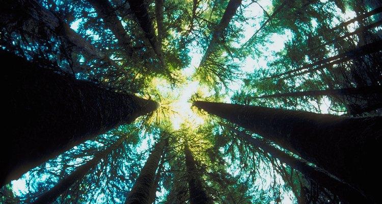 As árvores emergentes são as árvores mais altas das florestas tropicais
