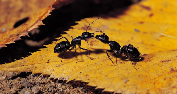 Las hormigas causan daños similares a las termitas.