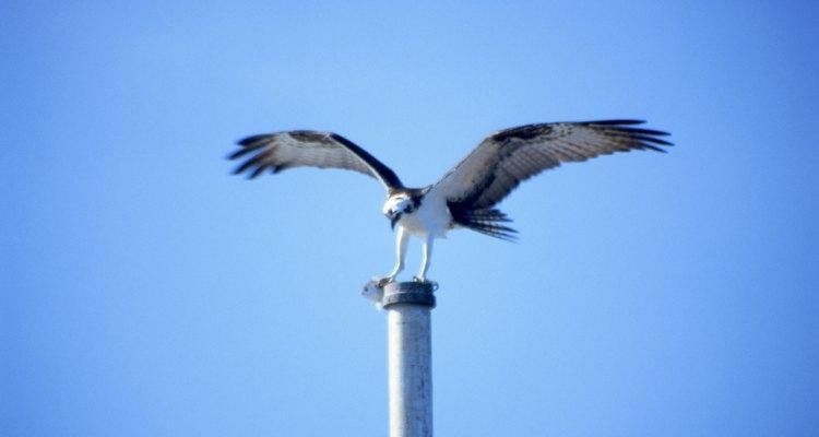 Están diseñadas para ser excelentes cazadoras en el agua, incluso bucean y luego de atrapar su presa vuelan.