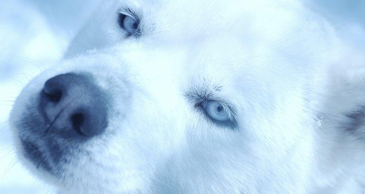 Os huskies podem ser branco puro, embora a cor preta e branca tradicional seja a mais reconhecida