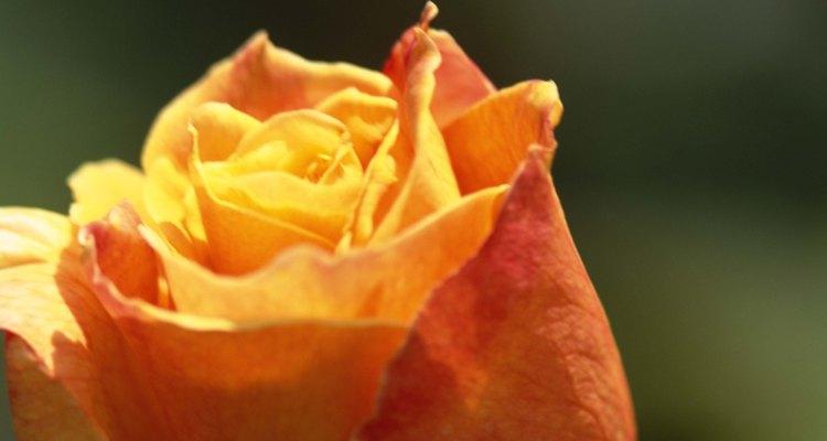 Las rosas son fácilmente reconocibles.